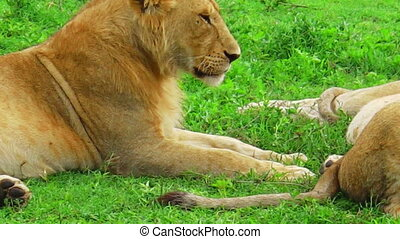 female lions resting - Sitting female lions resting on the...