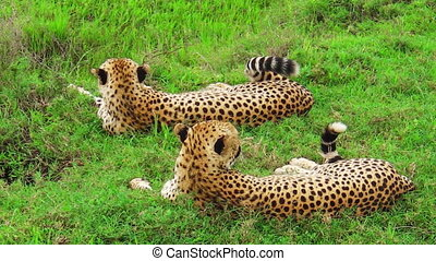 Cheetahs resting on grass - Two young brother cheetahs...