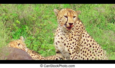 brother Cheetahs hunting - Two young brother cheetahs...