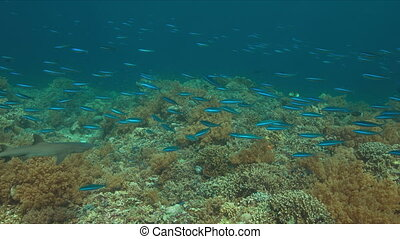 Colorful coral reef in Philippines with healthy hard corals...