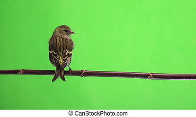 female and female siskin - female siskin isolated on a green...