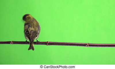 male and female siskin - female siskin isolated on a green...