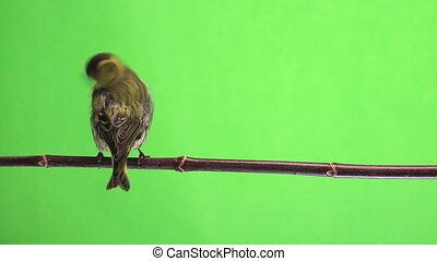 male and female siskin - female siskin isolated on a green...