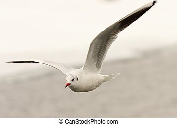 black headed gull in the air ( Chroicocephalus ridibundus ),...