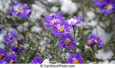a chrysanthemum and under snow - a chrysanthemum and yellow...