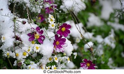 The flowers are covered with first snow - The flowers are...