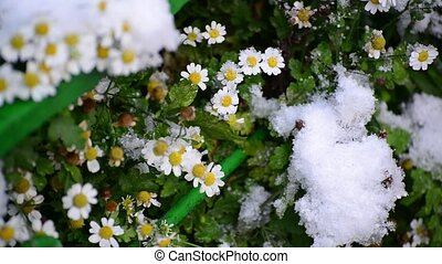 Daisies are covered with first snow