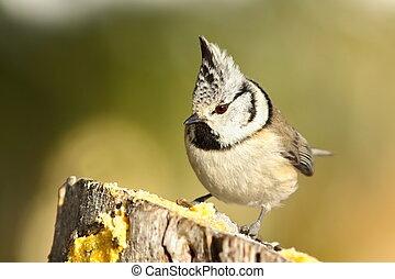 cute garden bird perched on wooden stump ( Lophophanes...