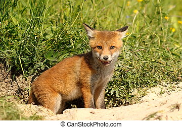cute young european red fox standing at the entrance of the...