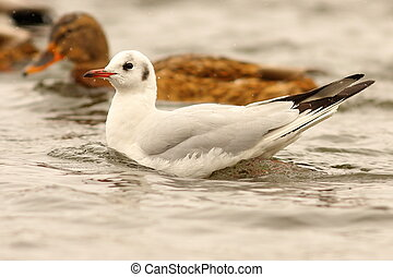 juvenile black headed gull on water - juvenile black headed...