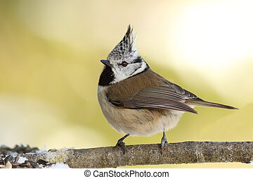 Lophophanes cristatus on twig - Lophophanes cristatus, the...