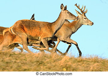 red deers running on top of the hill