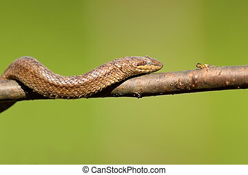 smooth snake climbing on branch ( Coronella austriaca ) over...