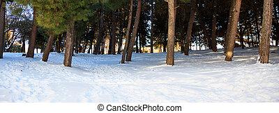 Trees trunks on a snowy background - Trees boles on a snowy...