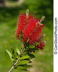 Bottlebrush flower - Bottlebrush (Callistemon) flowers and...