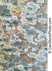 Tree lichen pattern - Texture pattern of lichen growing on a...
