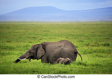 Elephants in Amboseli national park in Kenia