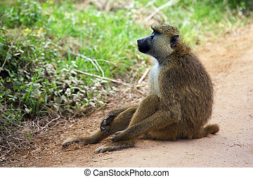 Baboon on road. Amboseli national park in Kenia