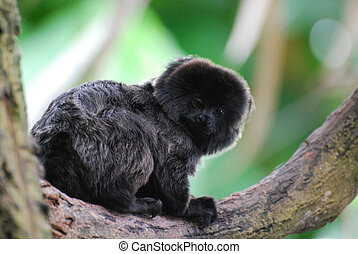 Adorable Goeldi's Marmoset in a Tree - Really cute marmoset...