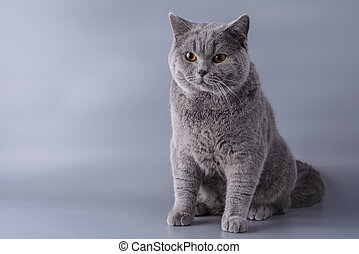 Beautiful young British cat on a gray background