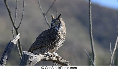 Great Horned Owl, Bubo virginianus - A Great Horned Owl,...