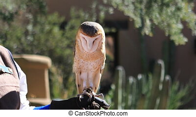 Captive female Barn Owl, Tyto alba - A Captive female Barn...