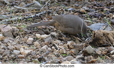 Curve Billed Thrasher, Toxostoma curvirostre on ground - A...