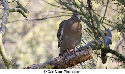 White Winged Dove, Zenaida asiatica perched - A White Winged...