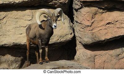Big Horned Sheep, Ovis canadensis - A Big Horned Sheep, Ovis...