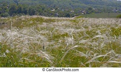 green feather grass. Green grass field - Feather grass,...