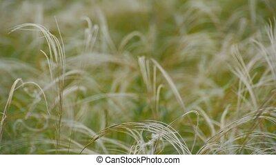 green grass in the wind - green feather grass. Green grass...