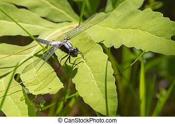 Male Chalk Fronted Corporal (Ladona julia) dragonfly. - Male...