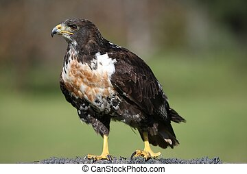 Jackal Buzzard Raptor - Jackal Buzzard bird of prey with...