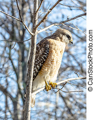 SIDE VIEW OF A RED SHOULDERED HAWK