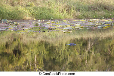 Alligator Hidding in a Bayou - Alligator (Alligator...