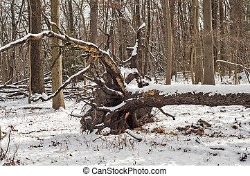 Windfall in forest - Fallen of wind tree in winter forest