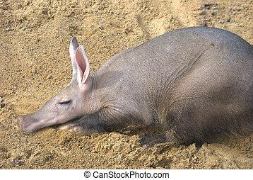 Aaardvark, Descansar