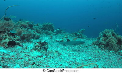 Whitetip Reef Shark on a coral reef. 4k