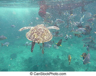 Green Turtle (Chelonia mydas) at Similan island, Thailand -...