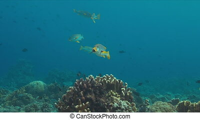 Diagonal banded sweetlips on a coral reef in Philippines. 4k...