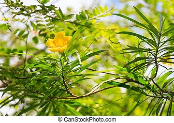 Yellow oleander flower - Beautiful yellow oleander flower or...