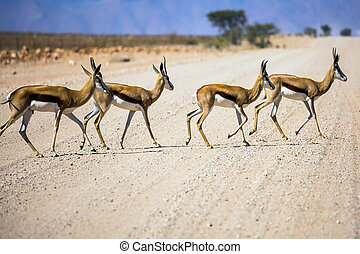 Small herd of impala antelopes cross the road. Dirt road in...