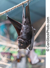 Malayan Bat (Pteropus vampyrus) hanging on a rope with its...