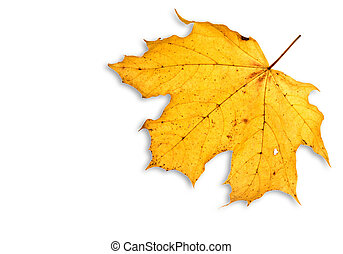 leaf on white isolated