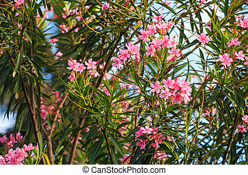 Pink oleander or Nerium - Beautiful lush pink flower of...