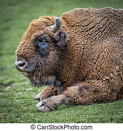 European bison (Bison bonasus), also known as wisent or the...