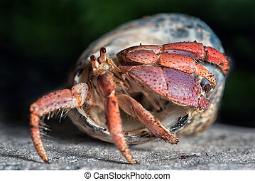 Hermit crab - A close up photograph of a hermit crab...
