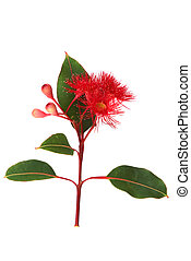 Red flowering Eucalyptus on white vertical image - Red...