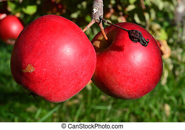 Fresh Red Apples NH - This photo was taken at Apple Orchard...