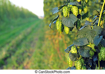 Green hops - close up - Close up of ripe green hops, growing...